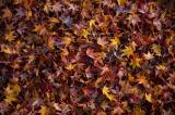 落ち葉の紅葉